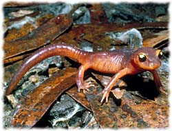 Salamander T-Shirts