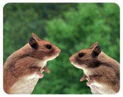 Hamster Coasters
