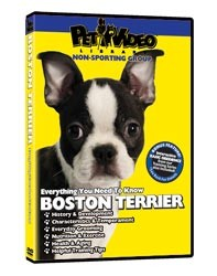 Boston Terrier Video
