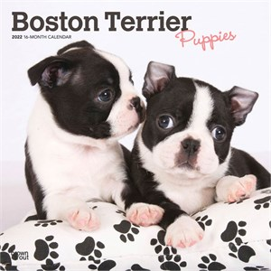 Boston Terrier Puppies Calendar 2014