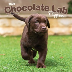  Chocolate Lab Puppies Calendar 2013