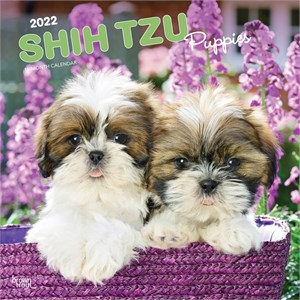 Shih Tzu Puppies Calendar 2013