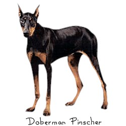Doberman T-Shirt - Perfectly Portrayed