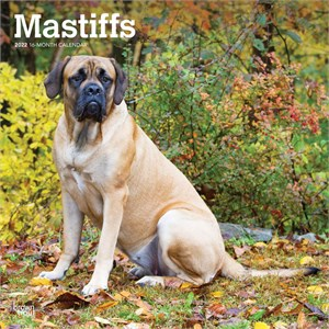  Mastiffs Calendar 2013