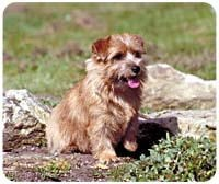 Norfolk Terrier Mousepad