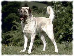 Anatolian Shepherd T-Shirt - Photo