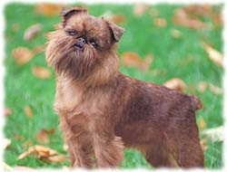 Brussels Griffon T-Shirt - Photo