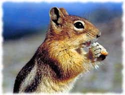 Chipmunk T-Shirt - Photo