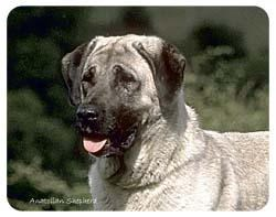 Anatolian Shepherd Coasters