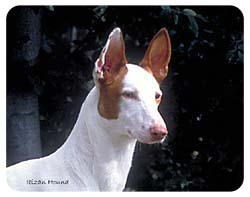 Ibizan Hound Coasters