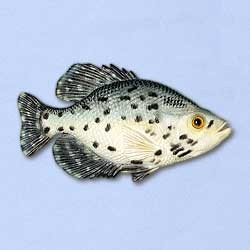 Crappie Magnet