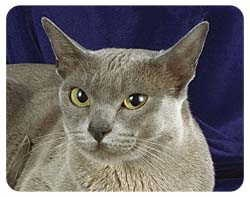 Burmese Cat Coasters