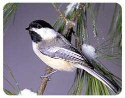 Chickadee Coasters