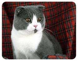 Scottish Fold Cat Coasters