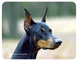 Doberman Pinscher Coasters