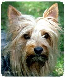 Silky Terrier Mousepad